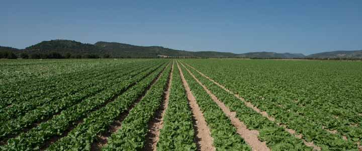 Campos de Lechuga - Natural Salads
